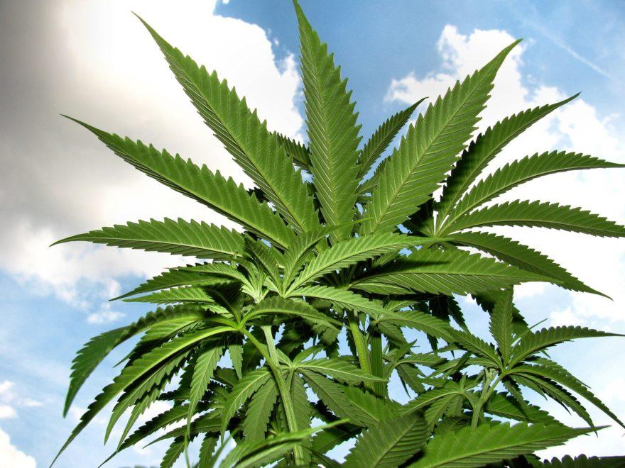 hemp, konopí, CBD, THC, kanabinoidy